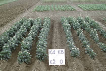 Potato plots at Rothamsted illustrate the value of soil K reserves. Four potash fertiliser treatments on soil at K Index 1