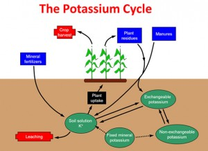 The Pools in the Cycling of Potassium