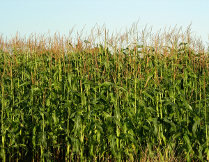 Maize benefits from the application of Potash