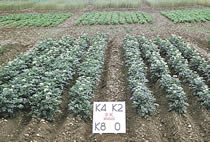 Potato plots at Rothamsted illustrate the value of soil K reserves. Four potash fertiliser treatments on soil at K Index 2