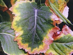 Severe potash deficiency symptoms, oilseed rape leaf. source: IPI K gallery