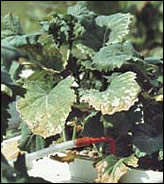 Potassium deficiency causes browning of leaf margins.