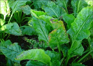 Leaves of sugar beet showing the sympotms of potassium deficiency