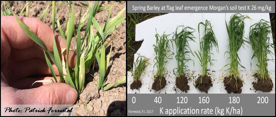 Figure 1. Visual early season deficiency symptoms and response to K application on a K deficient soil.