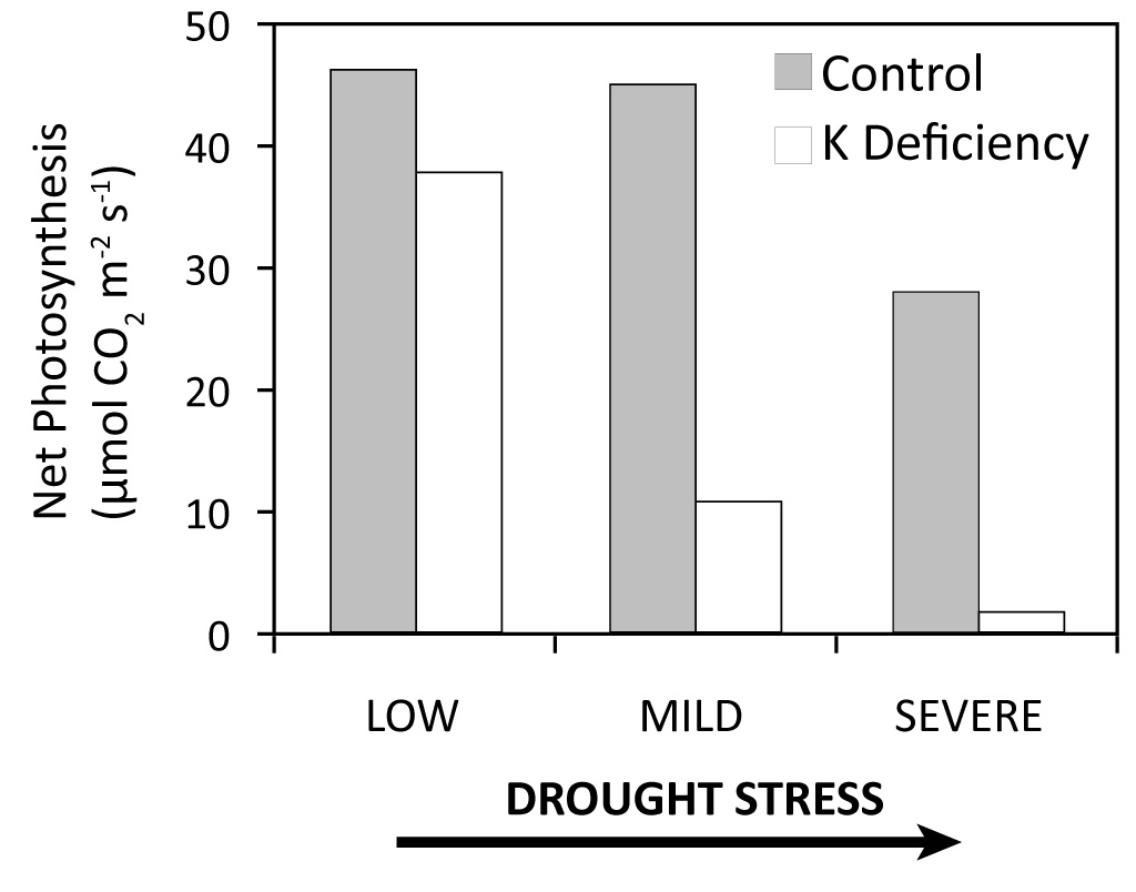 Effect of drought stress on photosynthesis